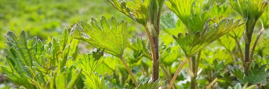 Крапива весной